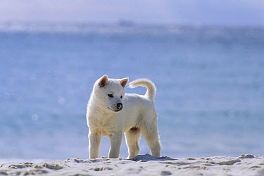 Kishu Inu (Canis familiaris) puppy on the beach  -  Mitsuaki Iwago