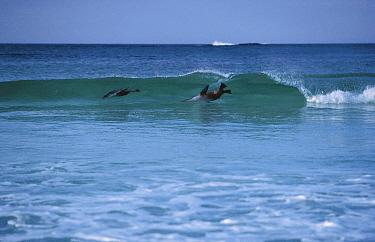 Australian Sea Lion (Neophoca cinerea) pair surfing, Australia  -  Mitsuaki Iwago