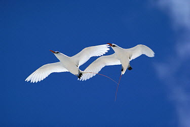Red-tailed Tropicbird (Phaethon rubricauda) pair courting, Hawaii  -  Mitsuaki Iwago