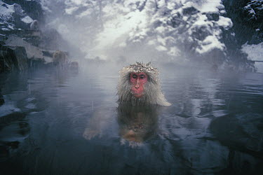 Japanese Macaque (Macaca fuscata) soaking in a hot spring, Japan  -  Mitsuaki Iwago