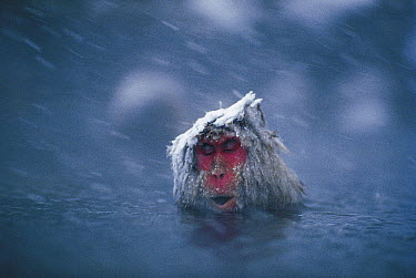 Japanese Macaque (Macaca fuscata) soaking in hot spring during a snow storm, Japan  -  Mitsuaki Iwago