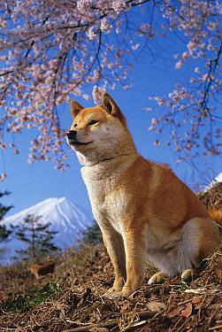 Shiba Inu (Canis familiaris) under cherry blossoms, Mount Fuji, Japan  -  Mitsuaki Iwago