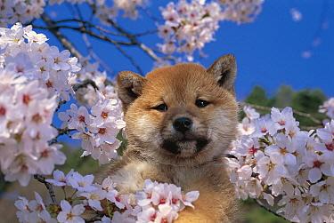 Shiba Inu (Canis familiaris) puppy, Japan  -  Mitsuaki Iwago