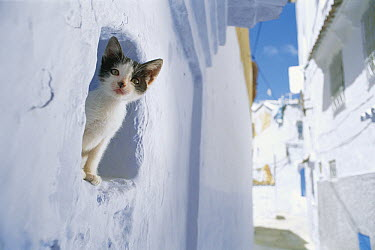 Domestic Cat (Felis catus) kitten peering out a window, Chefchaouen, Morocco  -  Mitsuaki Iwago