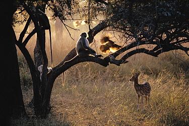 Axis Deer (Cervus axis) and Hanuman Langur (Semnopithecus entellus), India  -  Mitsuaki Iwago