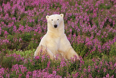 Polar Bear (Ursus maritimus) sitting in field of fireweed, Arctic  -  Mitsuaki Iwago