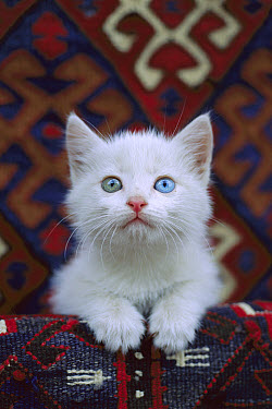Domestic Cat (Felis catus) white kitten with one blue eye and one green eye, a condition called heterochromia which does not affect vision  -  Mitsuaki Iwago
