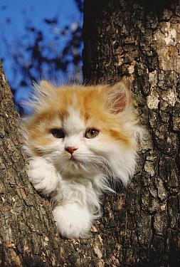 Domestic Cat (Felis catus) fluffy orange and white kitten resting in a tree  -  Mitsuaki Iwago