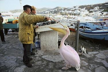 Domestic Cat (Felis catus) group at the fishing dock watch as fishermen feed a pelican, Mediterranean Sea, Europe  -  Mitsuaki Iwago