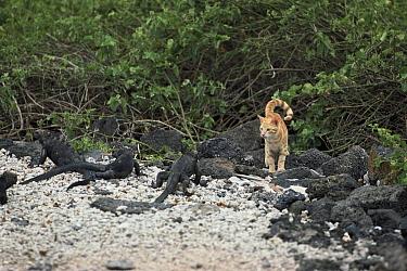 Domestic Cat (Felis catus) orange Tabby on beach with Marine Iguanas (Amblyrhynchus cristatus), Galapagos Islands, Ecuador  -  Mitsuaki Iwago