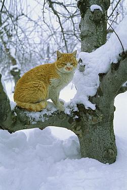 Domestic Cat (Felis catus) sitting in snow-covered tree  -  Mitsuaki Iwago