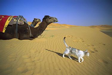 Domestic Cat (Felis catus) walking on desert sand near camels  -  Mitsuaki Iwago