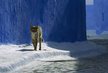 Domestic Cat (Felis catus) walking along white-washed sidewalk, Europe  -  Mitsuaki Iwago