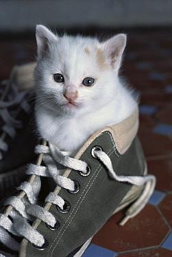 Domestic Cat (Felis catus) white kitten sitting inside a Converse sneaker  -  Mitsuaki Iwago