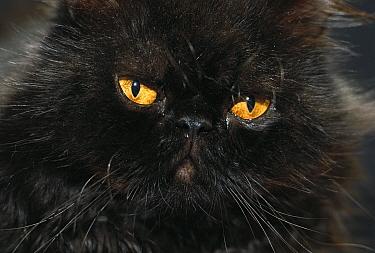 Domestic Cat (Felis catus) black Persian cat with amber eyes  -  Mitsuaki Iwago