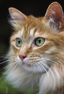 Domestic Cat (Felis catus) long-haired orange Tabby with green eyes  -  Mitsuaki Iwago