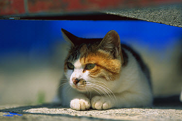 Domestic Cat (Felis catus) Calico resting in the shade  -  Mitsuaki Iwago