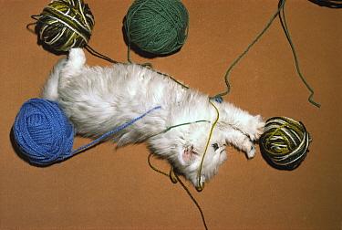 Domestic Cat (Felis catus) Persian cat playing with balls of yarn on the floor  -  Mitsuaki Iwago