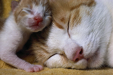 Domestic Cat (Felis catus) mother and infant kitten resting together  -  Mitsuaki Iwago