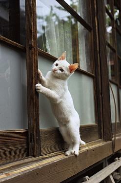 Domestic Cat (Felis catus) white cat on windowsill  -  Mitsuaki Iwago