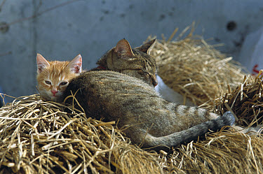 Domestic Cat (Felis catus) mother and kitten resting on a bed of straw  -  Mitsuaki Iwago