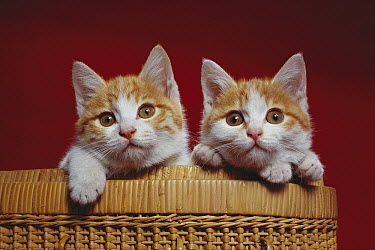 Domestic Cat (Felis catus) two curious young kittens in a basket  -  Mitsuaki Iwago