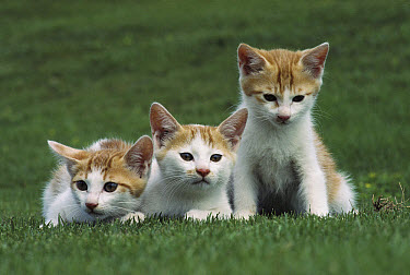 Domestic Cat (Felis catus) three identical kittens on grass  -  Mitsuaki Iwago