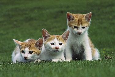 Domestic Cat (Felis catus) three identical kittens on grass  -  Mitsuaki Iwago