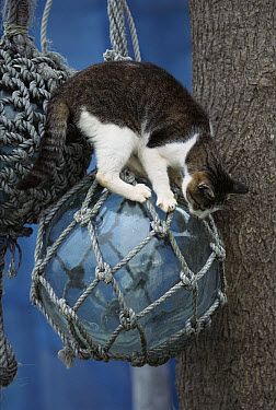 Domestic Cat (Felis catus) standing on a glass Japanese fishing net float  -  Mitsuaki Iwago