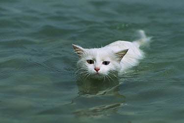 Domestic Cat (Felis catus) adult with one blue eye and one green eye swimming  -  Mitsuaki Iwago