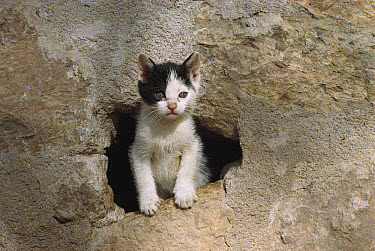 Domestic Cat (Felis catus) kitten emerging from hole in a wall  -  Mitsuaki Iwago