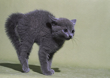 Domestic Cat (Felis catus) grey kitten in defensive posture with back arched and hair raised  -  Mitsuaki Iwago