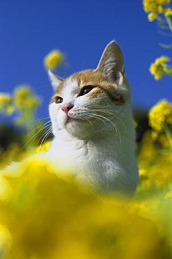 Domestic Cat (Felis catus) adult resting in the sunshine among yellow flowers  -  Mitsuaki Iwago