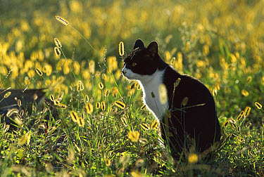Domestic Cat (Felis catus) adult sitting in meadow backlit by the sun  -  Mitsuaki Iwago