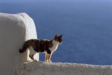 Domestic Cat (Felis catus) adult Calico standing on white-washed wall, Greece  -  Mitsuaki Iwago