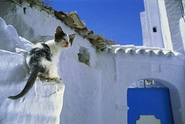Domestic Cat (Felis catus) stray kitten on white-washed wall, Greece  -  Mitsuaki Iwago