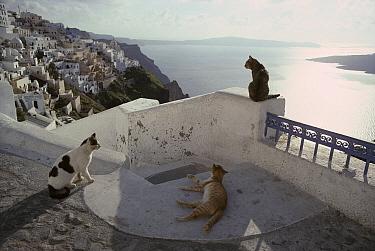 Domestic Cat (Felis catus) three strays, Santorini Island, Greece  -  Mitsuaki Iwago