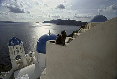 Domestic Cat (Felis catus) adult sitting on white-washed wall, Santorini Island, Greece  -  Mitsuaki Iwago