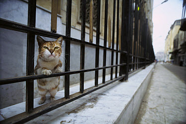 Domestic Cat (Felis catus) curious adult peering through railing on a city street, Europe  -  Mitsuaki Iwago