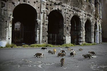 Domestic Cat (Felis catus) group of strays outside ancient ruin, Europe  -  Mitsuaki Iwago