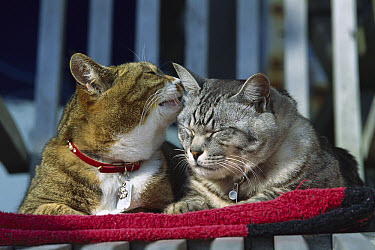 Domestic Cat (Felis catus) two adult Tabby cats resting together and grooming each other  -  Mitsuaki Iwago