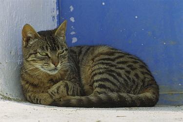 Domestic Cat (Felis catus) portrait of resting adult Tabby cat, Greece  -  Mitsuaki Iwago