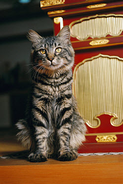Domestic Cat (Felis catus) portrait of adult long-haired Tabby house cat  -  Mitsuaki Iwago
