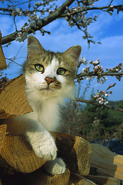 Domestic Cat (Felis catus) adult Calico on wood pile near blossoming tree  -  Mitsuaki Iwago