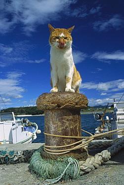 Domestic Cat (Felis catus) adult sitting on a dock piling licking it's nose  -  Mitsuaki Iwago