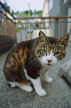 Domestic Cat (Felis catus) adult cat on city sidewalk  -  Mitsuaki Iwago