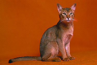 Domestic Cat (Felis catus) adult Abyssinian sitting  -  Mitsuaki Iwago