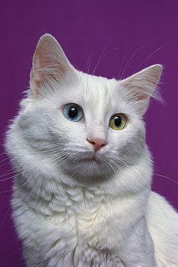 Domestic Cat (Felis catus) white adult cat with one blue eye and one green eye, a condition called heterochromia which does not affect vision  -  Mitsuaki Iwago
