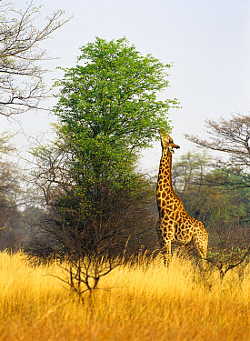 Masai Giraffe (Giraffa tippelskirchi) stretching neck to graze on upper leaves on tree, Botswana  -  Shin Yoshino