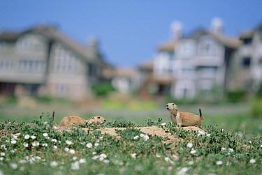 Black-tailed Prairie Dog (Cynomys ludovicianus) pair in urban field, Colorado  -  Shin Yoshino